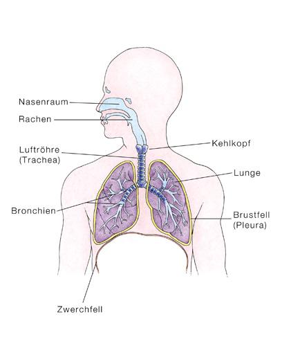 Lunge - eesom Gesundheitsportal