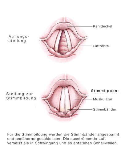 Nett Anatomie Der Stimmband Bilder - Anatomie Von Menschlichen ...