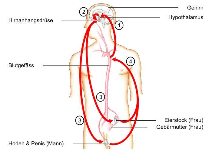 Regelkreis der sexualhormone