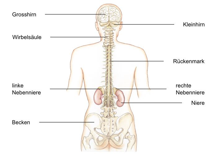 Nebennierenmark, Medullae glandulae suprarenalis - eesom ...