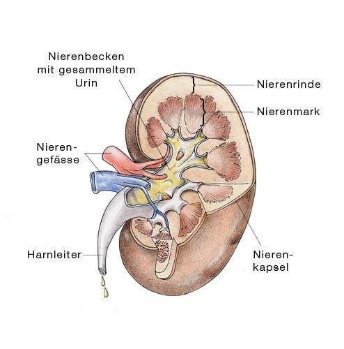chronisches nierenversagen, chronische niereninsuffizienz - eesom