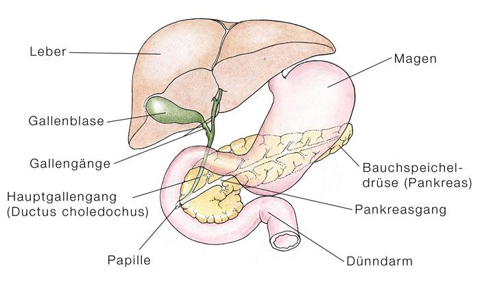 Gallengangsatresie, Gallengangsverschluss - eesom Gesundheitsportal
