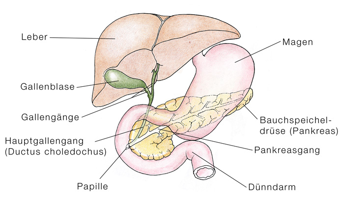Ductus choledochus (Hauptgallengang) || Med-koM